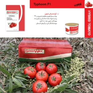 بذر گوجه فرنگی تایفون