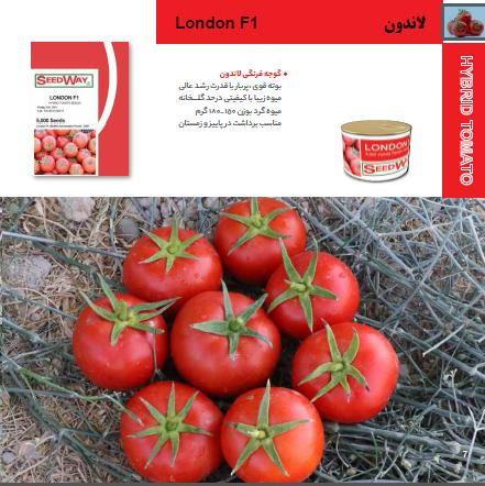 بذر گوجه فرنگی لاندون